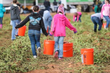 young children carrying buckets of picked sweet potatoes